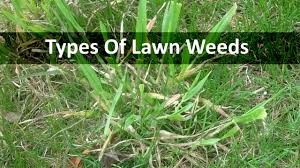 lawn weeds youtube