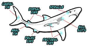 using dichotomous key to identify sharks