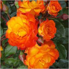 shades of orange names pictures and names of orange roses impremedia net
