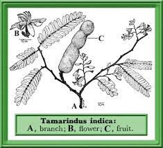 native plants of pakistan tamarindus indica in flora of pakistan efloras org
