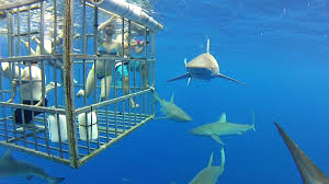 shark proof cage wikipedia
