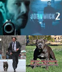 american pitbull terrier game bred bloodlines blue bully pit bull with keanu reeves in john wick 2 brute