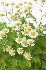 Easy Herbs To Grow Inside Feverfew Plants How To Grow Feverfew