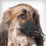 afghan hound breed afghan hound dog breed selector animal planet