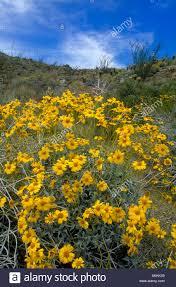 brittlebush in bloom anza borrego desert state park san diego