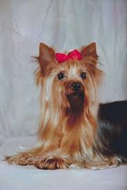 silky terrier hair cut what is the difference between the hair of a silky terrier