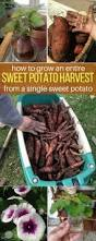 Container Gardening Potatoes - 4 simple steps to grow a hundred pounds of potatoes in a barrel