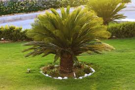 outdoor sago palm plants u2013 how to care for sago palm outside