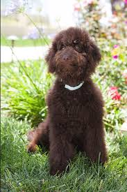 labradoodle hairstyles ideas about brown curly dog cute hairstyles for girls