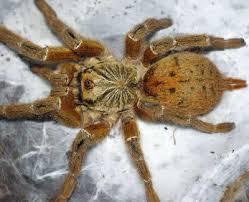 mombasa baboon spider pterinochilus murinus mombasa golden