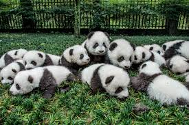 who discovered the panda