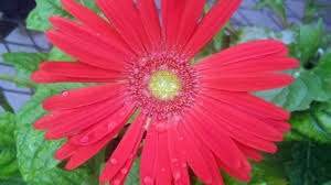 gerbera plant why can t i grow gerberas southern living