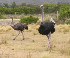 picture ostrich 17 lovely funny and wild animal infowpb com