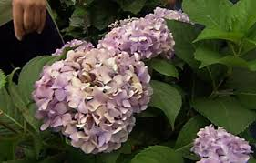 hydrangeas flowers 5 tips for growing hydrangeas this house