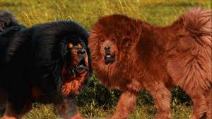 lion dogs seven dogs that look like lions pethelpful