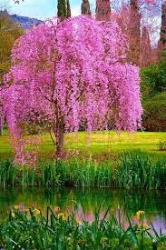 12 best weeping cherry images on flowering trees