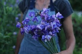 Sweet Pea Images Flower - flower focus my favorite sweet peas floret flowers