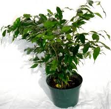 small ficus tree live 6 pot for sale