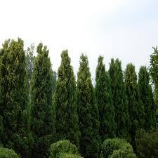 arborvitae shrubs trees u0026 bushes the home depot