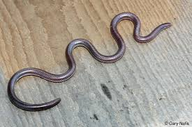 Blind Snake Hawaii Threadsnakes Blindsnakes Found In California