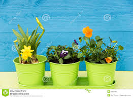 daffodils in small pots stock photo image 69666426