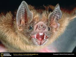 vampire bat picture vampire bat desktop wallpaper free