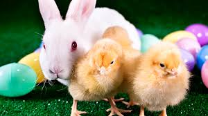 bunny easter live easter rabbit farm majura park shopping centre