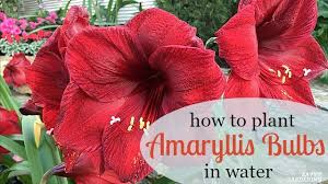 How To Grow A Bulb In A Vase Growing Amaryllis In Water How To Plant Amaryllis Bulbs In Water