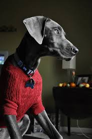 25 photos of pets in sweaters to make you all warm and fuzzy mnn