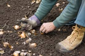 best time to plant fall bulbs