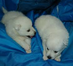 is a american eskimo dog right for me 99 best miniature american eskimo dogs images on pinterest