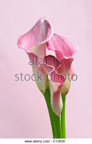 pink calla pink calla stock photos pink calla stock images alamy