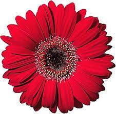 Gerbera Daisies Red Gerbera Daisy Free Virtual Flowers