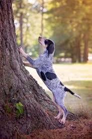 bluetick coonhound kennels in tennessee sweet simon bluetick hound dawgs pinterest bluetick