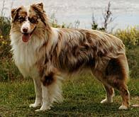 lifespan of australian shepherd australian shepherd pedigree ireland