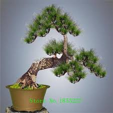 discount pinus trees 2018 pinus trees on sale at dhgate