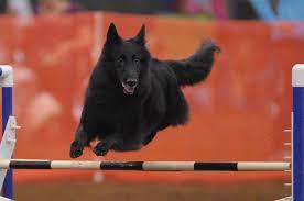 belgian sheepdog agility gch isengard u0027s z lucy wagalicious u2013 lucy u2013 blackforest belgian