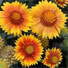 53 best blanket flower images on pinterest flower gardening