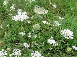 Weed Or Flower Pictures - queen annes lace pictures flowers leaves and identification