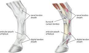 Tendon Synovial Sheath Tenosynovitis In Large Animals Musculoskeletal System Merck