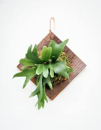 elkhorn native plant nursery staghorn fern plaque fern plants and gardens