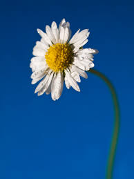 39 top selection of daisy pictures