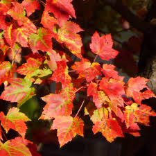 types of red colors red colored tree leaves u2013 types of trees that turn red in autumn