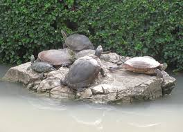 turtles reptiles and amphibians of bangkok