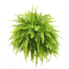 delray plants boston fern in 10 in hanging basket 10bosthb the