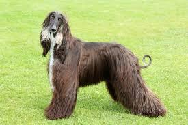 afghan hound and labrador retriever 10 relaxed dog breeds pawculture
