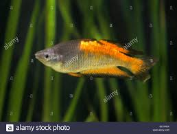 parkinson u0027s rainbow fish melanotaenia parkinsoni melanotaeniidae