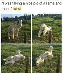 Alpaca Sheep Meme - alpaca sheep meme alpaca memes 49 best images about alpacas on cat