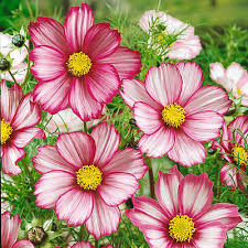 cosmos easy care annual that does not mind poor soil flower