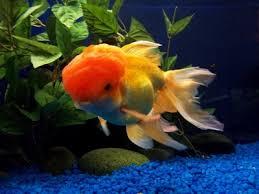 types of fishes for aquarium